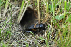 �wierszcz, polny, Gryllus, campestris, Field, cricket, owady, insects