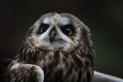 Short-eared, Owl, Asio, flammeus