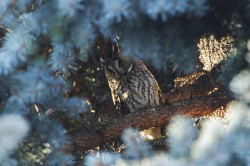 Long-eared, Owl, Asio, Strix, otus