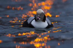Long-tailed, Duck, Clangula, hyemalis, Varanger, winter