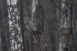 Great, Grey, Strix, nebulosa, Lapland, Owl