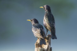 European, Sturnus, vulgaris, Common, Starling