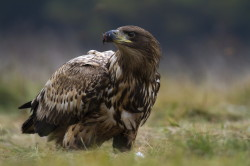 White-tailed, Eagle, Haliaeetus, albicilla