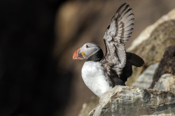 Atlantic, Common, Puffin, Fratercula, arctica, Varanger, spring