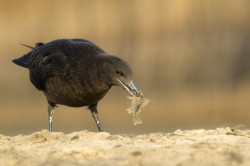 Great, Stercorarius, skua